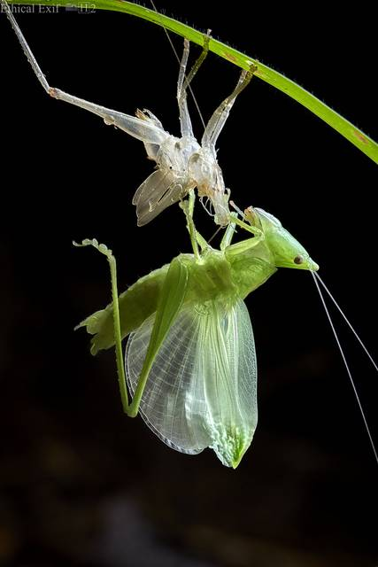 Moulting katydid
