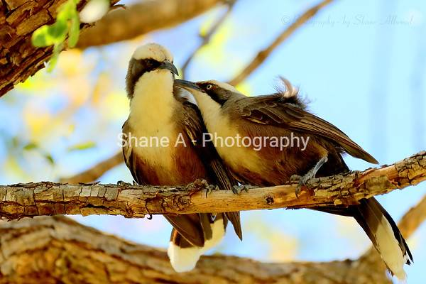 Babbler - Grey-Crowned Babbler - Shane Allwood Photography