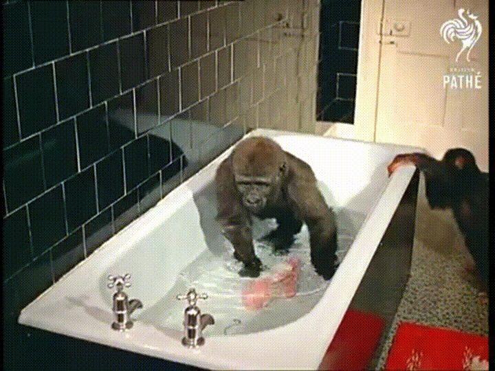gorilla vs chimp animalsbeingjerks